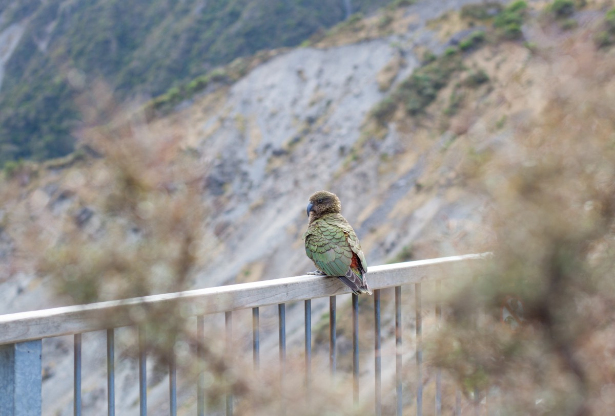 new zealand photography kea on arthur's pass